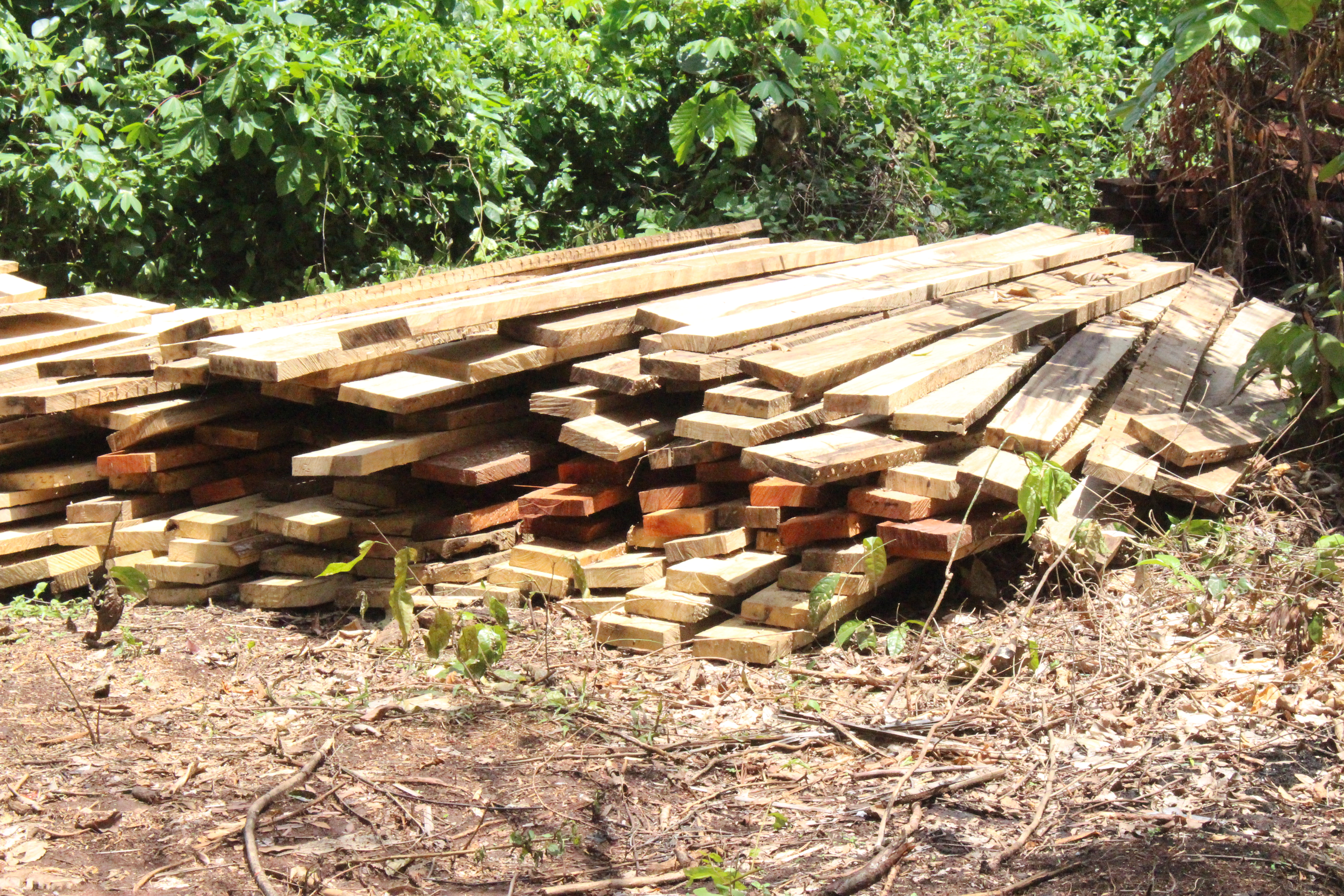 Illegal sawn lumber lying in the forest.  Afrormosia boards are in the middle of the stack.