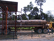 Logs being inspected in Sabah before transiting through Malaysia. Photo: The Sabah Foundation