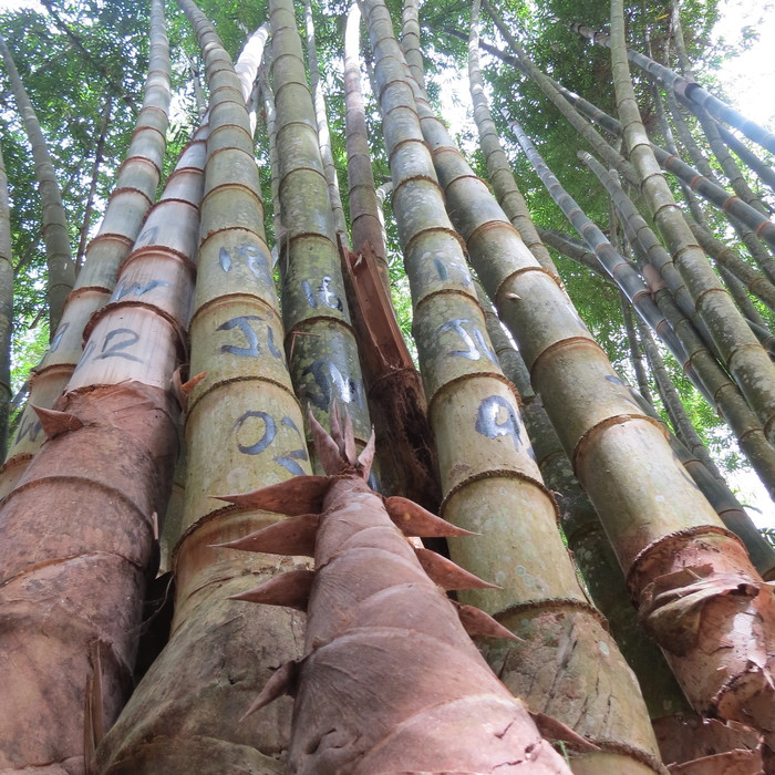 Standing tall<br><br>Bamboos are abundant and widely used. ITTO is helping member countries sustainably manage this great natural resource through projects, such as ITTO project PD 600/11 Rev.1 (I) in Indonesia.<br>