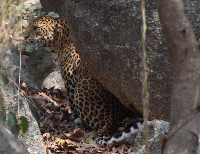 Leopard<br><br>A long-running ITTO project in the Emerald Triangle—a biodiversity hotspot shared by Cambodia, Lao PDR and Thailand that hosts threatened animals like the leopard—is supporting transboundary cooperation in conservation management.<br>