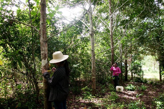 Measuring recovery<br><br>ITTO project staff measure the diameter of taxi (<em>Tachigalis vulgaris</em>) in a former grazing area in the Amazon state of Pará, Brazil, which has been restored thanks to ITTO project PD 346/05 Rev.2 (F).<br>