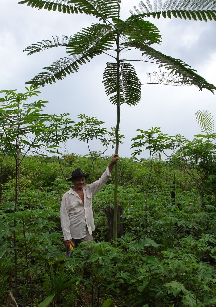Proud farmer<br><br>A farmer stands alongside a paricá tree (<em>Schizolobium amazonicum)</em>, a species used in the restoration of degraded lands on family farms in the Amazon state of Pará, Brazil, with support from ITTO project PD 346/05 Rev.2 (F).<br>