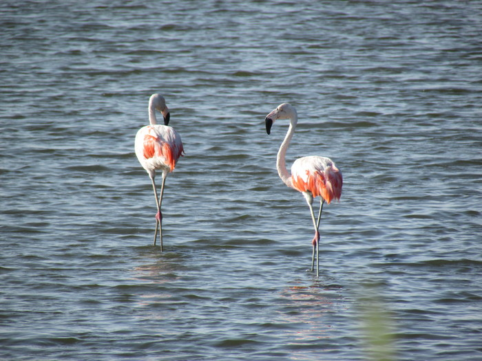 Biodiversity monitored<br><br>Flamingos wade through the Chulliyache mangroves in Peru, where biodiversity is being monitored under ITTO project PD 601/11 Rev.3 (F).<br>