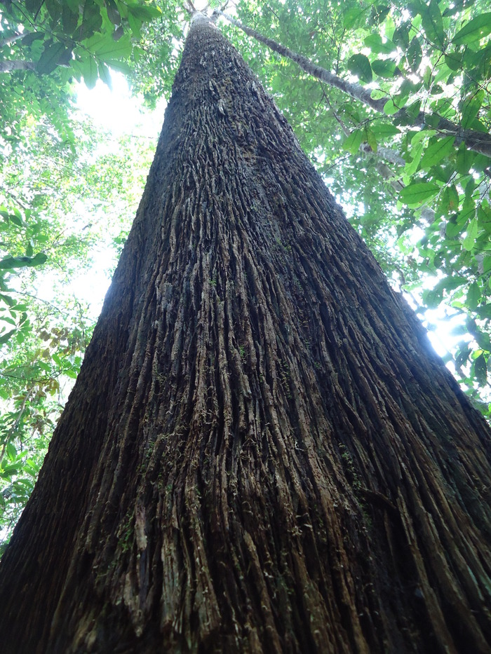 Indigenous heritage<br><br>A large specimen of andalas (<em>Morus macroura</em>) stands in a forest in Sumatra, Indonesia, where ITTO project PD 710/13 Rev.1 (F) is promoting the conservation of high-value indigenous tree species.<br>