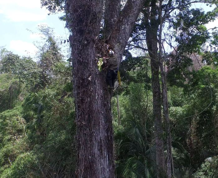 Time lapse<br><br>A field officer places a camera in a mahogany tree (<em>Swietenia macrophylla</em>) as part of a population dynamics study in the Peruvian Amazon, assisted by the ITTO–CITES Programme.<br>