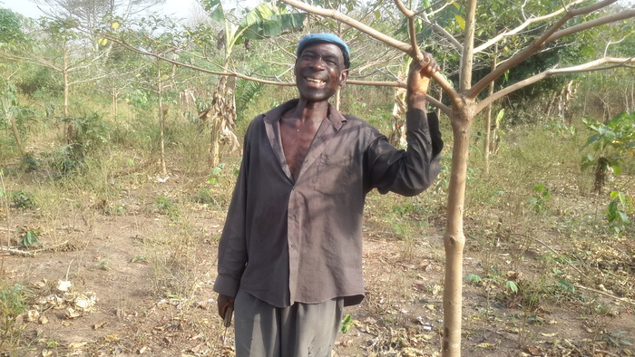 Rehabilitating degraded farms<br><br>A farmer stands alongside a<em> Terminalia superba </em>tree, which is being planted with plantain to enrich degraded farmlands in Ghana as part of activities under ITTO project PD 530/08 Rev.3 (F).<br>