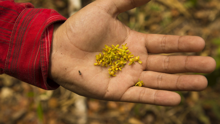 Tiny, but big<br><br>These flowers of mahogany (<em>Swietenia macrophylla</em>) were collected in the Peruvian Amazon, where the ITTO&ndash;CITES Programme is assisting CITES scientific authorities to assess the population dynamics of the species.<br>