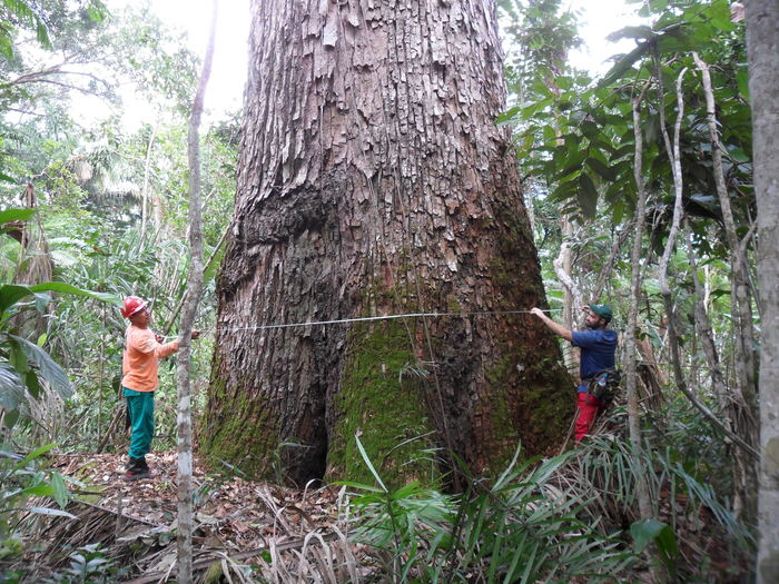 Brazilian cedar<br><br>Foresters measure the diameter of a Brazilian cedar (<em>Cedrelinga catenaeformis</em>), a species often found in association with mahogany trees. The ITTO&ndash;CITES Programme is helping Brazil better understand mahogany population dynamics.<br>