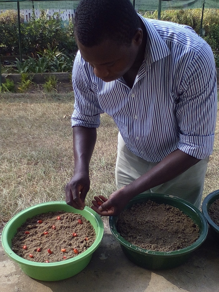 Germination tests<br><br>ITTO Fellow Paul Kweku conducts research on the seed quality of indigenous tree species in Ghana.<br>