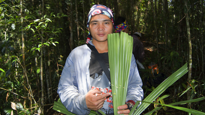 Versatile leaf<br><br>The licuala palm leaf is used as thatching in roofs as well as for fans and umbrellas by local people in the buffer zone of the Pulong Tau National Park, Sarawak, Malaysia, where ITTO project PD 635/12 Rev.2 (F) is helping improve forest management and boost livelihoods.<br>