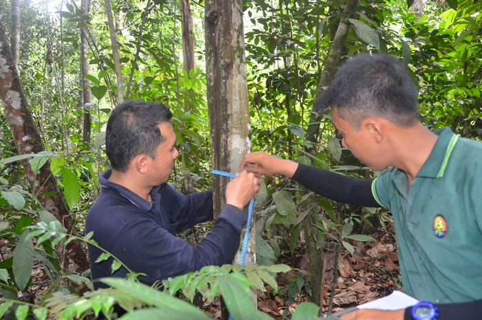 Inventory<br><br>Forest officers measure the diameter of an indigenous tree in Sumatra, Indonesia, as part of ITTO project PD 710/13 Rev.1 (F), which is supporting efforts is to conserve high-value indigenous species.<br>