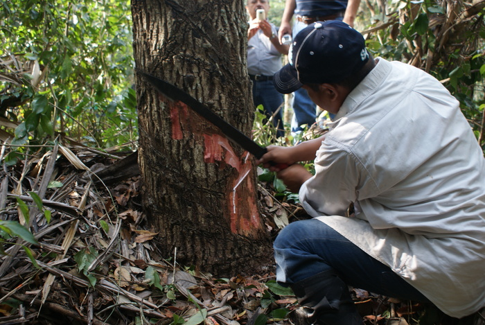Tapping in<br><br>A technician demonstrates how to obtain valuable resin from (<em>Manilkara zapota</em>). ITTO project PD 351/05 Rev.1 (F), in Oaxaca, Mexico, has helped increase awareness of the importance of managing forests for their multiple benefits.<br>